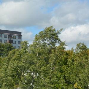 Blåsigt väder får träden att svaja.