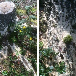 """Christer Lindström undrar vad det är för skadedjur som har åstadkommit det fina """"sågspånet"""" på stubben. Han hittade inga hål i barken och den sitter fast."""
