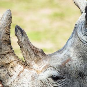 En noshörning med sitt horn i närbild.