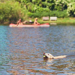 Hund simmar med tennisboll i munnen, i bakgrunden paddlar två personer kanot.