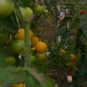 Gula och röda tomater odlas i växthus.