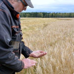 Torolf Bonäs kontrollerar att kornet är moget