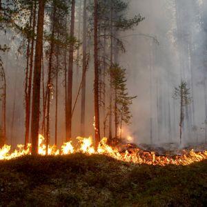 Brinnande skog i Kårböle i Sverige.