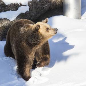 Brunbjörn på Högholmen.
