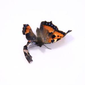 Nässelfjäril med skadad vinge