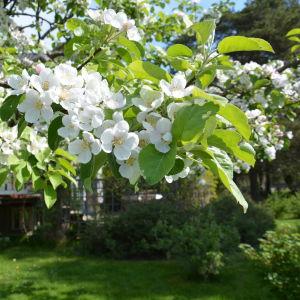 Blommande äppelträd.