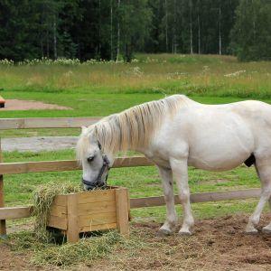 Vit häst äter hö.
