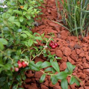 Röda lingon på odlad lingonplanta i rabatt med bädd av tegelkross
