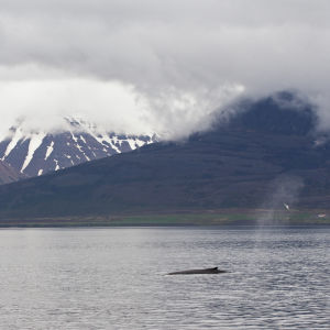 Ryhävalas on noussut hengittämään vedenpinnalle Pohjois-Islannissa.