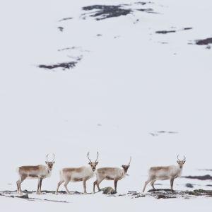 Porotokka Kilpisjärvellä talvella.