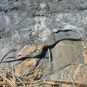 En snok i Runsala
