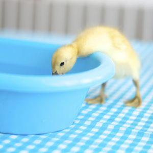 En gul fjunig andunge böjer sig ner i ett tvättfat.