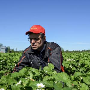 Anders Lång bland jordgubbsplantor.