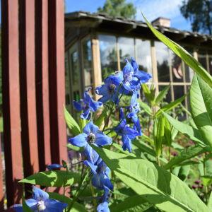 Klarblå praktriddarsporre blommar invid staket