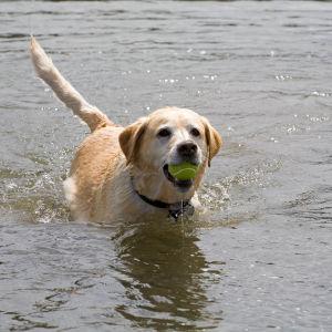 Labrador simmar med tennisboll.