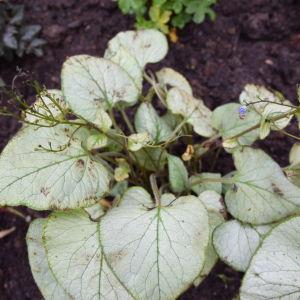 Ljusgröna blad av kaukasisk förjätmigej