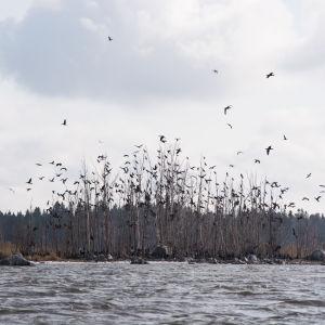 Juckasgrynnan i Vasa skärgård, en liten holme med flera hundra skarvbon. På bilden flyger ett antal fåglar.