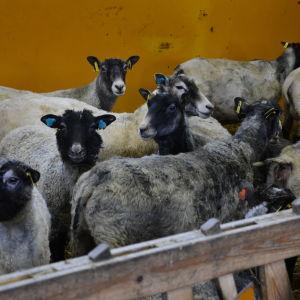 Flera får i en inhägnad