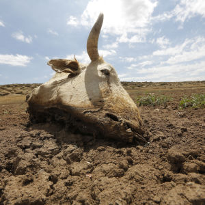 En död ko i torrt landskap i Senekal, Sydafrika 11.1.2016