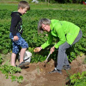 Joakim och Gunnel Englund tar upp potatis.