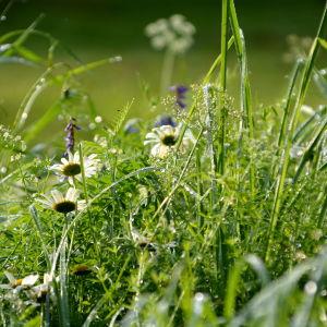 Ängsblommor och gräs