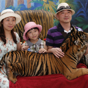 Tigerturism i en djurpark i Thailand.
