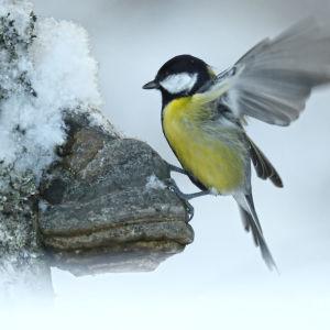 En talgoxe breder ut sina vingar i ett snöigt landskap.