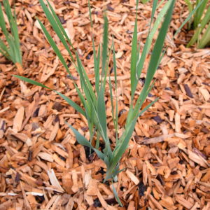 Ung planta av blå iris, marken är täckt av barkflis
