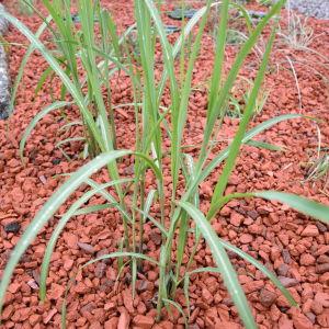 Ung planta av Japanskt gräs 'Miscathus Sinensis' planterad i en bädd av tegelkoss