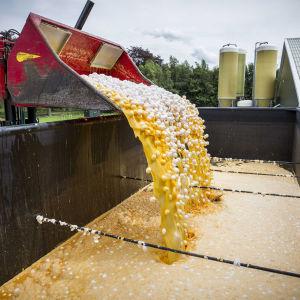 Kontaminerade ägg hälls ner i en container på en nederländsk hönsfarm i Onstwedde den 3 augusti.