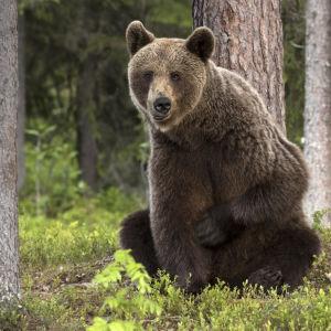 Karhu istuu metsässä.