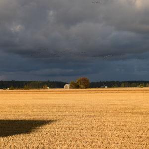 Söderfjärden i magiskt ljus. Möra åskmoln på himlen men ändå lyser solen över de gyllene åkrarna.