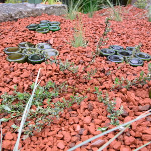 Ung spretig planta av täckvide 'Salix x aurora' planterad i bädd av tegelkross