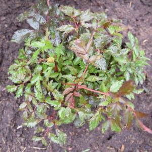 Nyvattnad planta av astilbe
