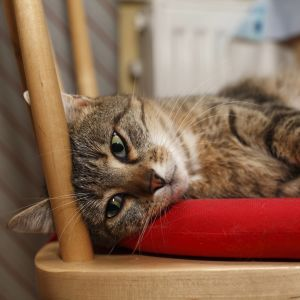 En randig europé-katt ligger och vilar på ett sittunderlag på en trästol.