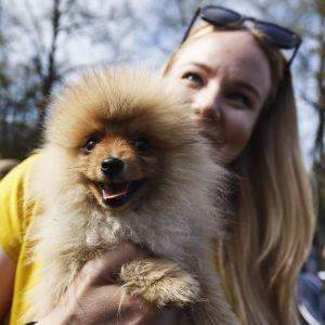 Pomeranianvalp på hundparaden Puppy Parade i Brunnsparken i Helsingfors den 28 maj 2017.