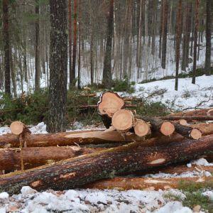 skogsavverkning på kvarnåsen i lovisa 10.03.16