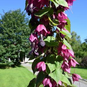 Stängel med Törnrosas kjortel blommar med mörklila och vinröda blommor