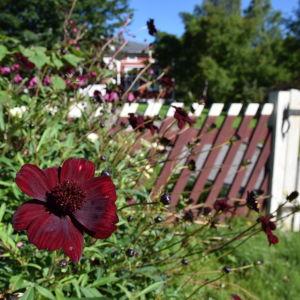 Mörkt brunröd chokladcosmos i blom och med glansiga knoppar