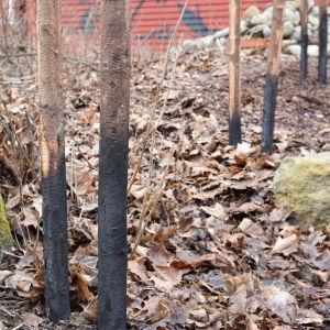Störar till en gärdsgård som är nerkörda i marken och brända i spetsen.
