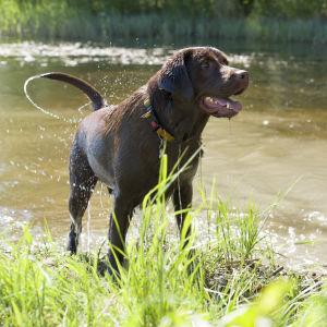 En brun labrador står på en strandkant. Vatten rinner ur pälsen och den viftar på svansen så att vatten skvätter.