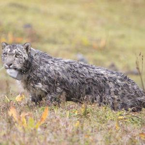 Snöleoparder fick radiosändare i Bhutan
