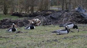 Vitkindad gås i Runsala, Åbo