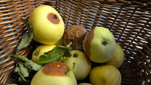 Skämda äppel i en korg.