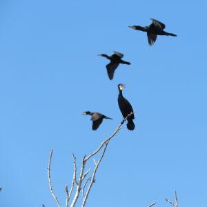 En skarv i trädtopp och tre andra som gör en fly by, Vasa skärgård