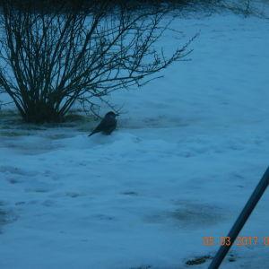 Den här fågeln besökte Kjell Lindholms matningsställe 5/3-17 i Tenala Västra Nyland. Han kom till att det är en nötkråka. Hur allmän är den?