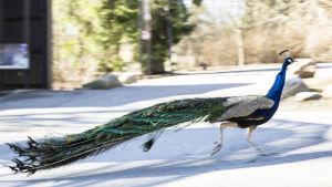 Påfågeltupp springer