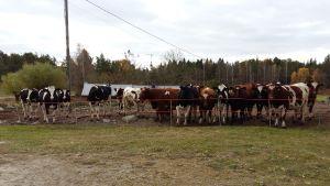 Korna på Blombergs gård i Andtböle, Nagu glor på alla besökare.