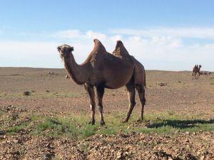En kamel i Gobiöknen.