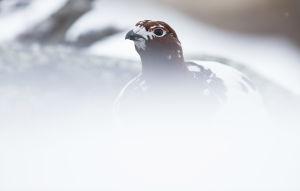 Riekko suojassa lumen keskellä.